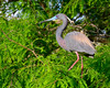 Tricolored Heron<br /> Alligator Farm<br /> St. Augustine, Florida<br /> April 2013