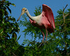 Roseate Spoonbill<br /> Alligator Farm<br /> St. Augustine, Florida<br /> April 2013