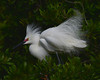 Great Egret<br /> Alligator Farm<br /> St. Augustine, Florida<br /> April 2013