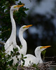 Great Egret Chicks<br /> Alligator Farm<br /> St. Augustine, Florida<br /> April 2013