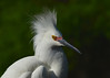 Snowy Egret<br /> Alligator Farm<br /> St. Augustine, Florida<br /> April 2013