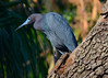 Little Blue Heron<br /> Alligator Farm<br /> St. Augustine, Florida<br /> April 2013