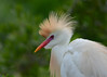 Cattle Egret<br /> Alligator Farm<br /> St. Augustine, Florida<br /> April 2013