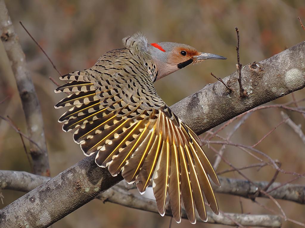IMAGE: http://kenn3d.smugmug.com/Nature/Birds-Blossoms-8/i-VRxQhDR/0/XL/sx50_flicker_bit_cr2_dpp_127-XL.jpg