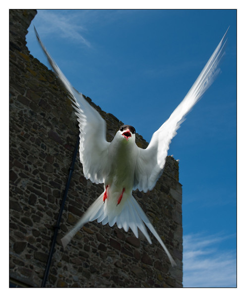 Farne Isles - Inner Farne  24th June 2011. Puffin and Tern colony.