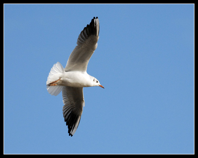 Black-headed gull at Pennington Flash, Leigh, Lancs.