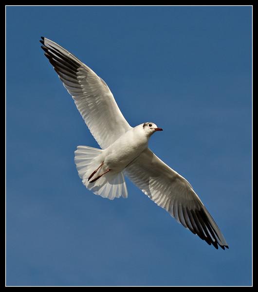 Black-headed gull - Martin Mere WWT