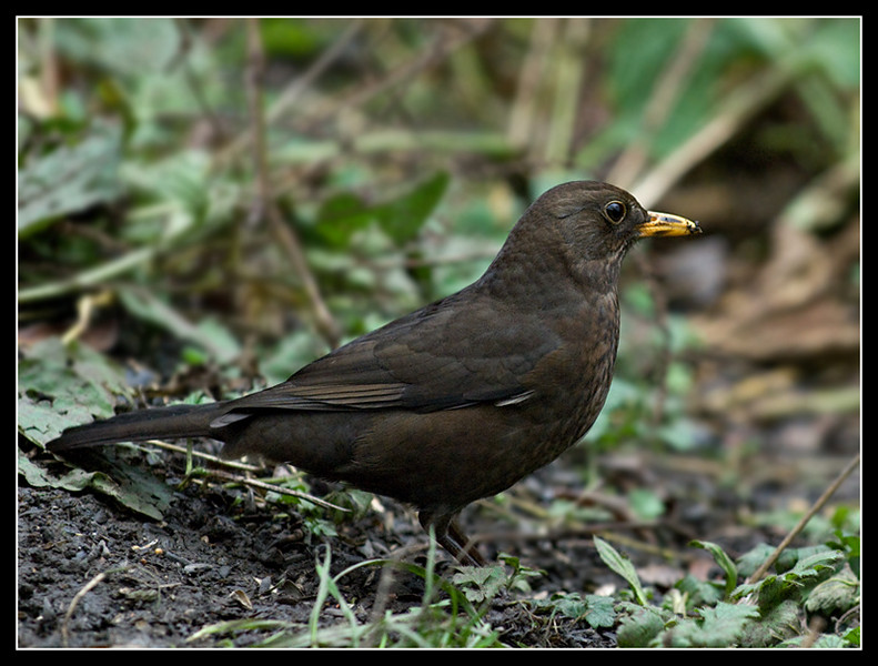 Blackbird - Turdus merula (Female)<br /> <br /> Taken at Pennington Flash Country Park, Leigh, Lancs.