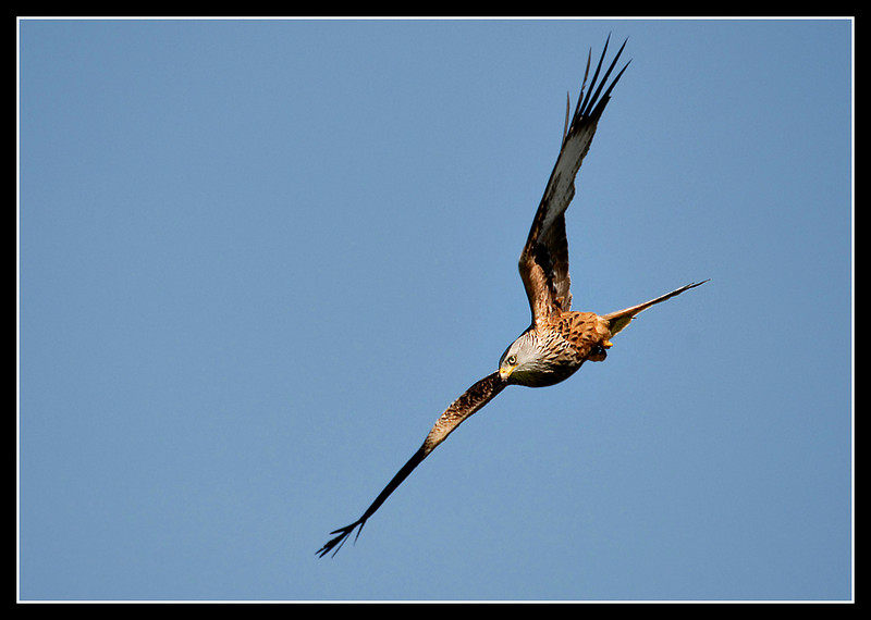 Red Kite - Gigrin Farm, Wales