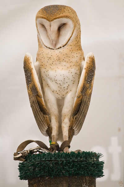 Barn Owl - Jonathon Woods Raptor Project 2008