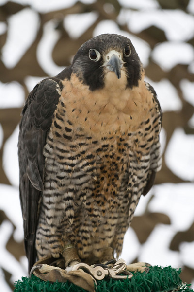 Peregrine Falcon - Jonathon Woods Raptor Project 2008