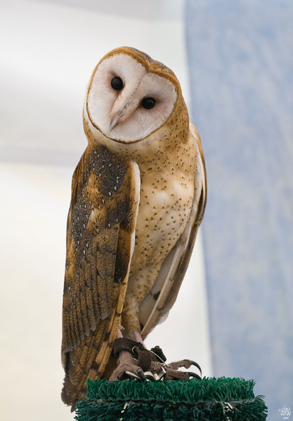 Barn Owl - Jonathon Woods Raptor Project 2008