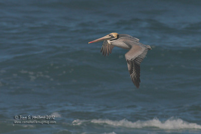 Brown Pelican (Palecanus occidentalis)