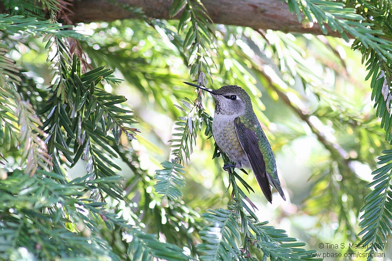 Hummingbird - dunno what kind though