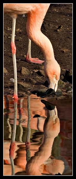 Flamingo - Martin Mere WWT
