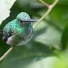 White-chested Emerald Hummingbird