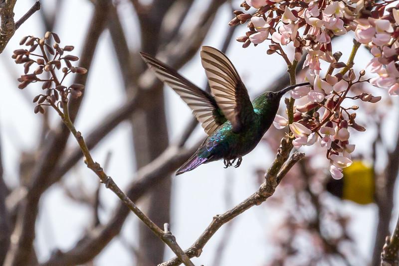 Purple-throated Carib