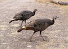 WILD TURKEY (F)<br /> Cottonwood Campground, Big Bend National Park, Texas<br /> <br /> I've been told these are a hen and her daughter, and they love hanging around the campground.