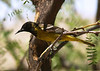 SCOTT'S ORIOLE (M; 1st spring)<br /> Persimmon Gap, Big Bend National Park, Texas
