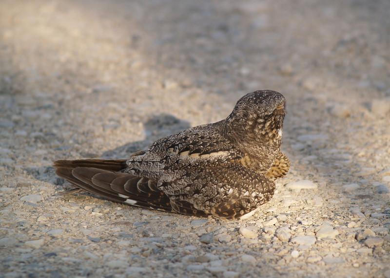 LESSER NIGHTHAWK<br /> Stillwell's RV Park, Heath Canyon, Texas