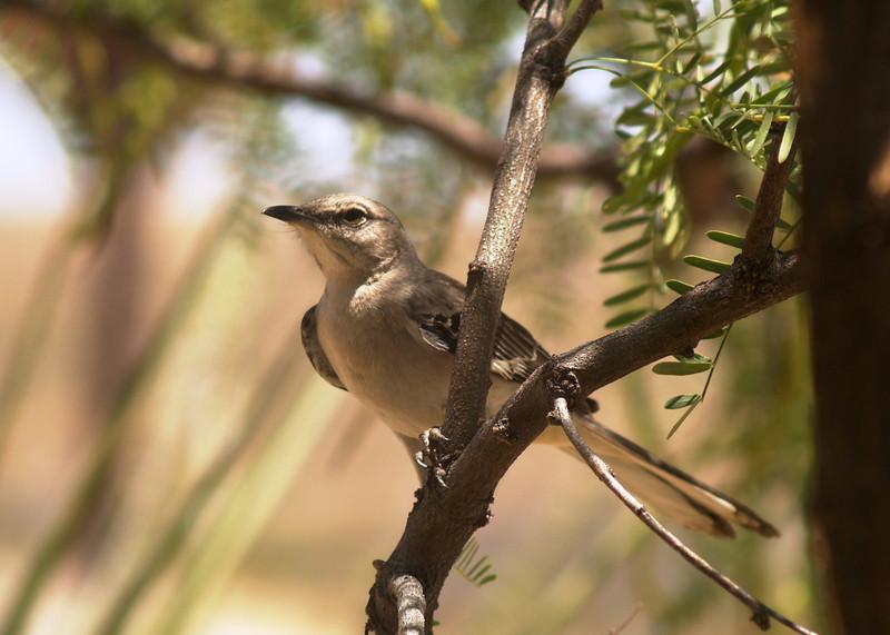 NORTHERN MOCKINGBIRD<br /> Persimmon Gap, Big Bend National Park, Texas