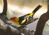 WESTERN TANAGER (M)<br /> Persimmon Gap, Big Bend National Park, Texas