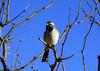 BLACK-THROATED SPARROW<br /> Persimmon Gap, Big Bend National Park, Texas