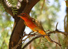 SUMMER TANAGER (M; 1st spring)<br /> Persimmon Gap, Big Bend National Park, Texas
