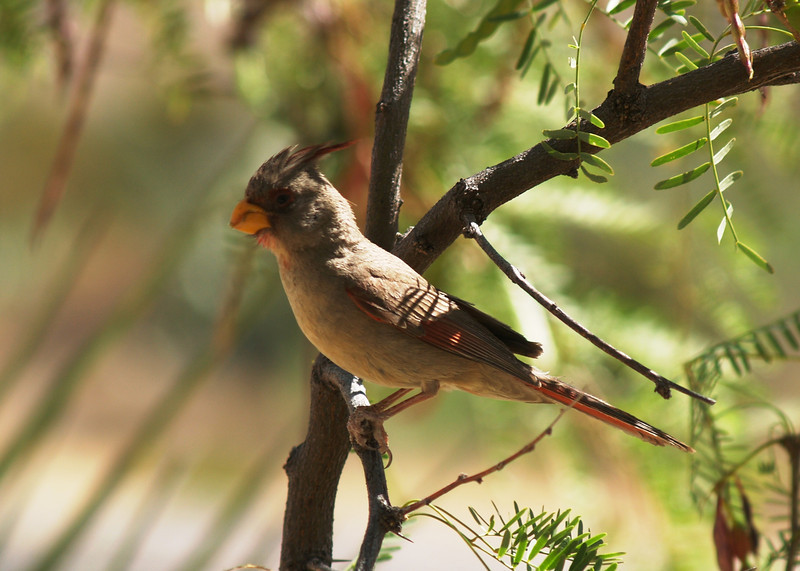 PYRRHULOXIA<br /> Persimmon Gap, Big Bend National Park, Texas
