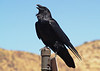 COMMON RAVEN<br /> Persimmon Gap, Big Bend National Park, Texas