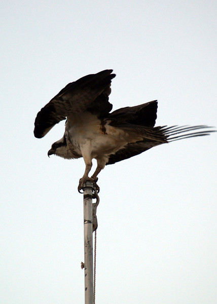 OSPREY<br /> Persimmon Gap, Big Bend National Park, Texas