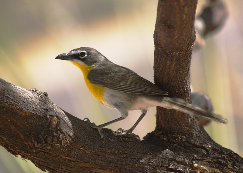 YELLOW-BREASTED CHAT<br /> Persimmon Gap, Big Bend National Park, Texas