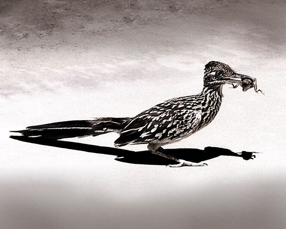 Roadrunner with Lizzard