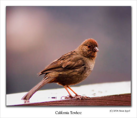 California Towhee - Small brown birds can be beautiful.