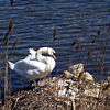 Swan and nest