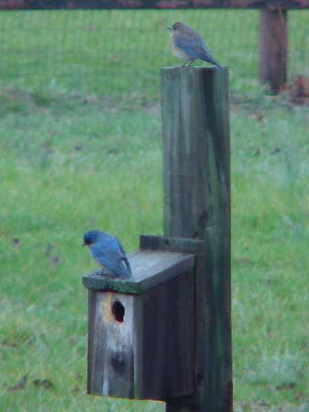 Bluebirds on Guard