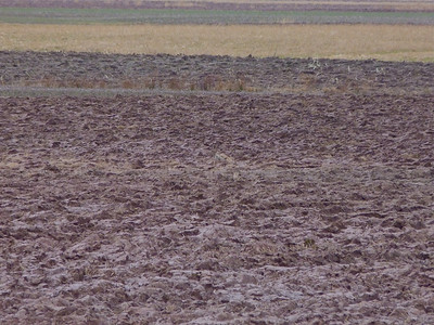 Find the Short-eared Owl now. It's still in the centre of the field on, or down in, some dead grass. January 24, 2012.
