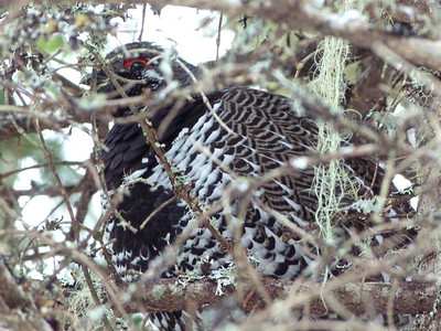 Spruce Grouse male