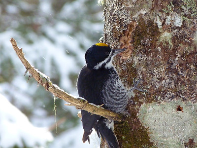 Black-backed Woodpecker male