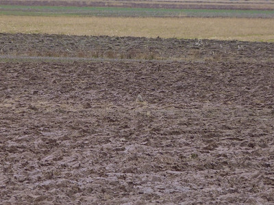 Find the Short-eared Owl. It's in the centre of the field on some dead grass. January 24, 2012.