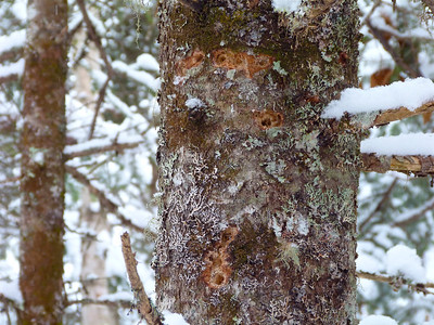Black-backed Woodpecker feeding evidence, taken two days later