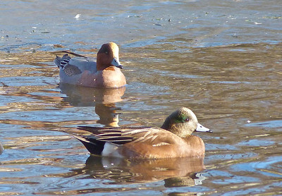 American Wigeon male foreground