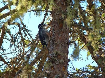 Black-backed Woodpecker female