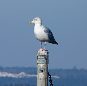 Herring Gull