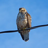 Broad-winged Hawk juvenile