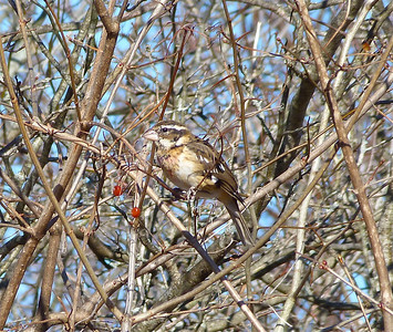Rose-breasted Grosbeak juvenile male, overwintered in Nova Scotia