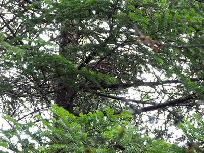 Spruce Grouse - how to find one.