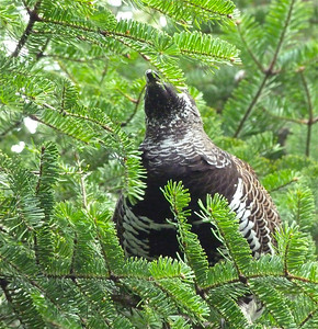 Spruce Grouse male feeding on balsam fir needles
