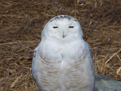 Snowy Owl (taken from inside a car, not approached on foot).