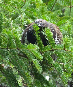 This Spruce Grouse male is feeding on balsam fir needles. His head is turned on its side and we are seeing his right eye.